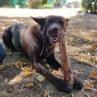 trachee de boeuf a macher friandise naturelle pour chien