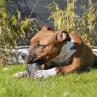 peau de sanglier a macher friandise 100% naturelle pour chien