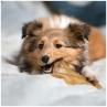 oreille de boeuf a macher friandise 100% naturelle pour chien chiot mastication